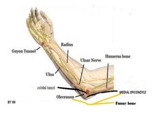 anatomy-of-ulnar-nerve-ulnar-nerve-anatomy-9-638